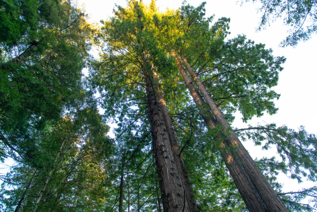 Redwoods in Mill Bend, Gualala