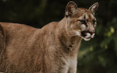 Mountain lion seen at Mill Bend