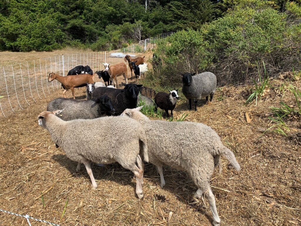 sheep and goats at Mill Bend