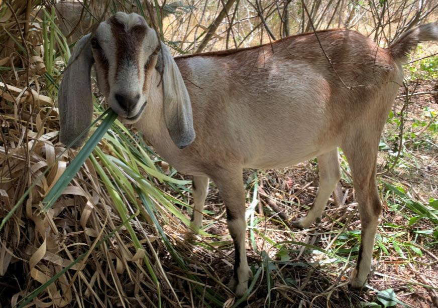 goat eating pampas grass