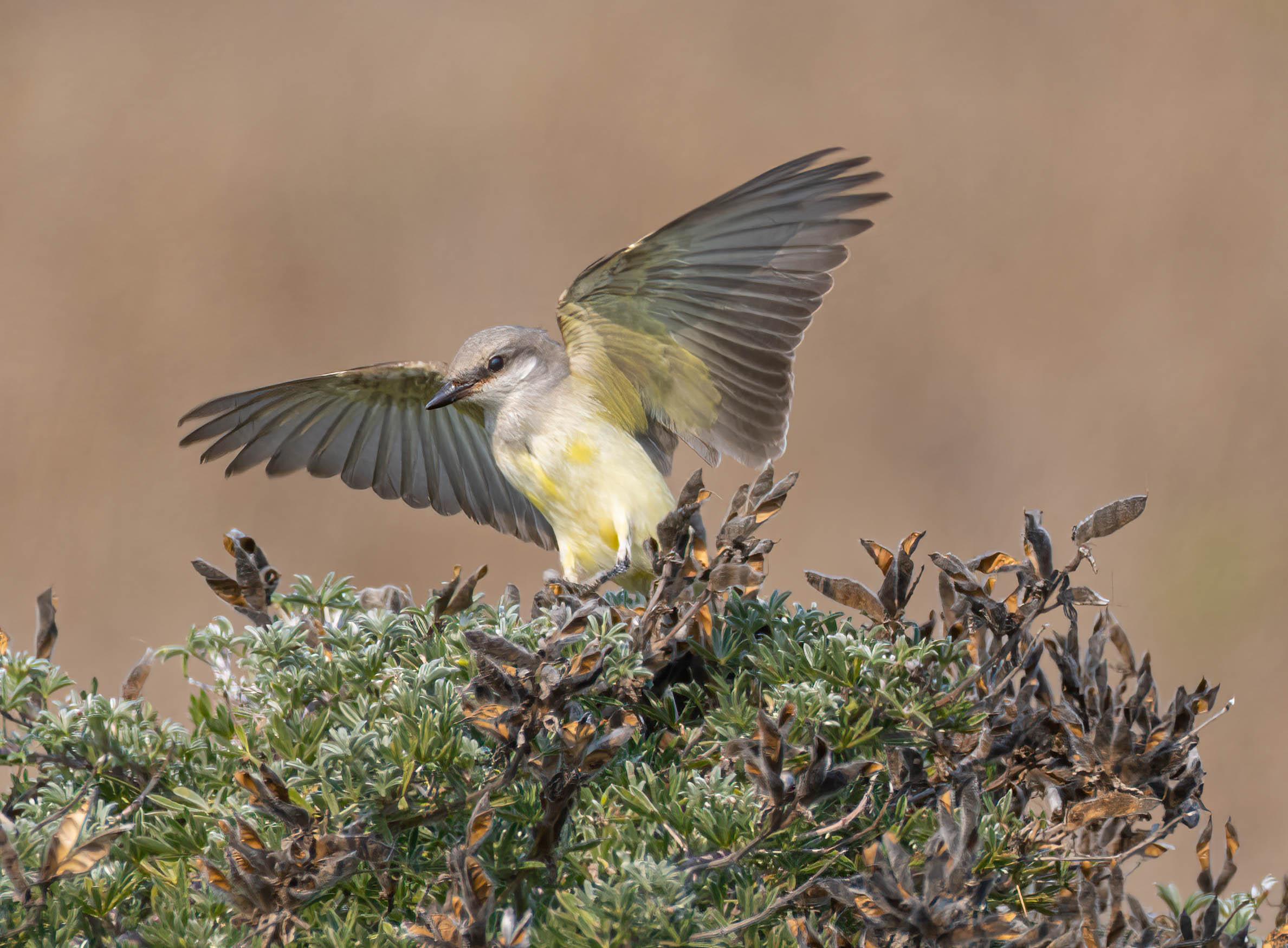 Kingbird Stretch by Mike Petrich
